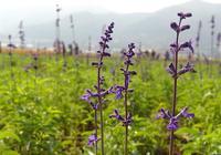 開在秋天深處的18種紫色花草