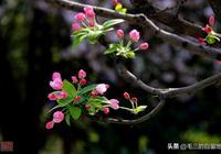 花中貴妃——西府海棠