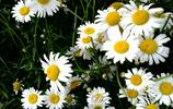 植物圖集:小雛菊