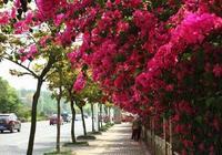 花期最長的爬藤花,花開220天,比牡丹還好看,院子種2棵,美極了