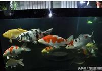 看這裡~家庭養錦鯉魚,魚缸的擺放