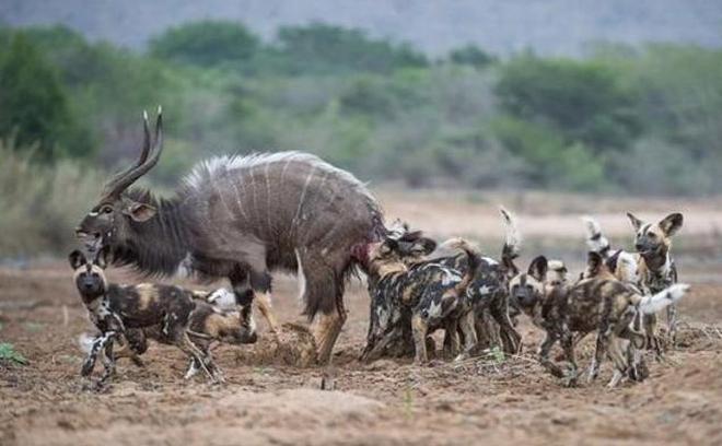 形單影隻羚羊卻遇上野狗群,羚羊的死法讓人慘不忍睹