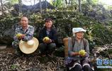廣西西林縣發展以鐵皮石斛為主的林下經濟,解決貧困戶經濟問題