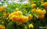 黃木香開花,淡淡清香,金黃一片