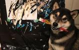 一隻愛上畫畫的柴犬,每幅畫能賣到300多元
