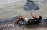 印尼漁民捉回兩頭鯨鯊給孩子當玩具,鯨鯊的死因令人嘆息