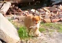 金毛狗崽被賣光,母狗跑鄰居家偷別人的狗崽餵養,狗崽一臉無奈……