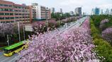 廣西柳州:洋紫荊花開扮靚城市