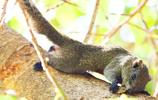 初夏時節,海南綠意盎然,三亞南山寺菩提樹上的小松鼠萌態十足