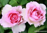 羅衣--無刺藤本粉紅色,花型包實,花大多頭開花,香味濃郁,勤花