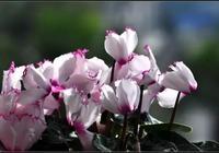 冬季花卉推薦:仙客來的鑑賞與養護