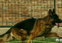 德國牧羊犬的戰鬥力怎麼樣?