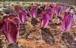 這白菜比較稀罕,光賣菜心不賣菜葉,農民種它可年收益幾十萬
