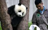 六一兒童節 看看四川臥龍基地的熊貓寶寶們是怎麼過的吧