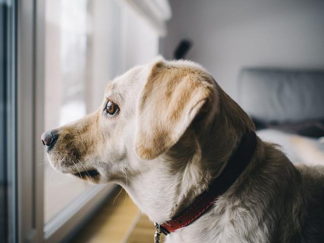 我出門狗狗就一直叫,狗分離焦慮是病,但有很多小技巧能解決