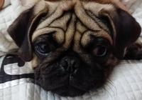 巴哥臉上這個特殊部位,有的狗有,有的狗沒有,哪種好看呢