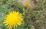 農村家鄉的這些花可供藥用,你還認識幾種?
