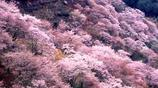 去日本旅遊賞櫻花,這幾個地方千萬不要錯過!