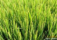 深度解讀水稻開花,知曉水稻空癟率的原因