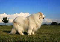 大白熊犬有什麼優點呢?