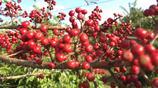 龍膽樹的果實-難得一見的野生龍膽樹開花了!