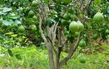 朋友家別墅院子都種滿了這種果樹,當年掛果,水果多的吃不完