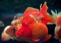 古法養魚怎麼治療魚病?不花錢治療金魚疾病!金魚圖譜中的妙招