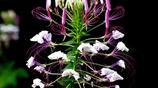 花卉圖集:醉蝶花