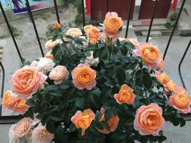 新購的月季、玫瑰如何正確換盆