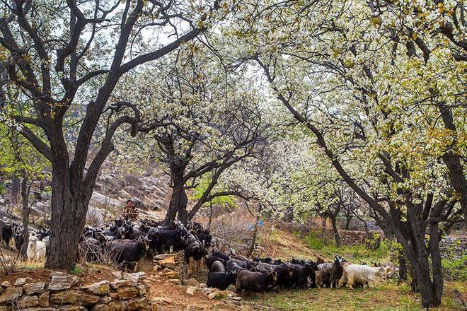 太行山村梨花開滿坡,美如仙境,醉倒山外人,村裡農家樂也開張了