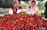 山東雲山鎮進行大棚櫻桃種植 使之成為當地農民增收致富支柱產業