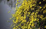 風景圖集:迎春花美景