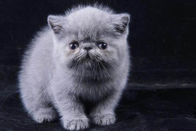 寵物圖集-萌寵貓 加菲貓