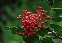 怎麼把花椒子培育成花椒樹苗?