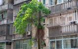 """重慶這棵長在五樓的黃葛樹太""""硬核"""" 居民擔心得睡不著覺"""