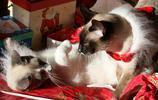 暹羅貓:善解人意,可以用皮帶拴著遛的貓
