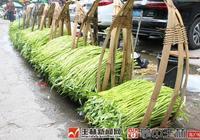 """博白蕹菜搶""""鮮""""上市 價格達10元每公斤"""