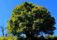 如今茶園大樹砍伐嚴重,古茶樹直接枯死,他卻找了處世外桃源種茶