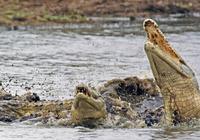 鱷魚一口咬住羚羊,必死的羚羊突然使出一招,鱷魚當場懵了
