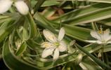 植物圖集:吊蘭