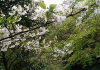 櫻花緣,有櫻花的地方長滿故事