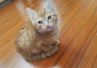 網友花50買了只醜萌小橘貓,慢慢地把小橘養胖吧
