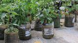 經營農家樂的農民用廢棄的油桶種蔬菜,變廢為寶、一舉多得,真是好創意