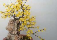 七絕:迎春花