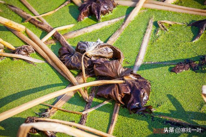 這東西浙江人在種,北方人在吃,以前過年才能吃到,你吃過嗎?