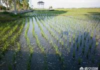 袁隆平的雜交水稻到底有沒有被全國推廣?其中的原因是什麼?