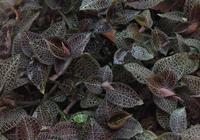 金線蓮是中藥材中比較珍稀的一味藥材,金線蓮的種植前景好不好