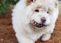 忠犬每天去林中找松果,只為給主人吃,憨厚鬆獅卻忠心耿耿