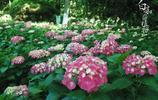 """園藝大王""""繡球花""""有很多種顏色,究竟是什麼原因呢"""