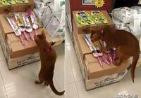 貓咪小偷愛玩逗貓棒,店長將逗貓棒藏起來,它還拍箱子表達不滿